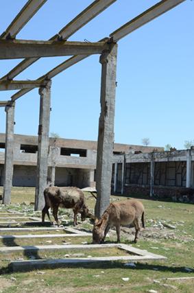 chevaux et ânes à Caraorman dans les ruines de l'usine de verre