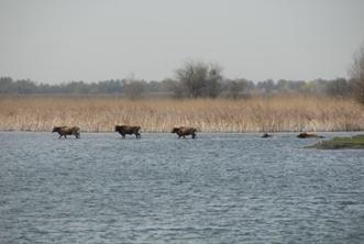 vaches nageuses à Mila 23